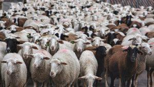 Κτηνοτρόφος με καρδιά από… πρόβατα-Ο ευρηματικός τρόπος που τίμησε την εκλιπούσα θεία